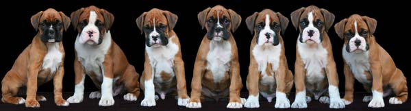 Seven Boxer Dogs