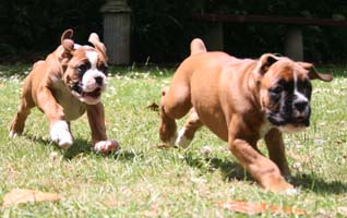 ronin boxers exercise and your boxer puppy